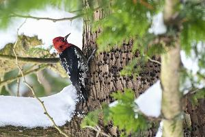 Red-breasted Sapsucker taken by Michael Shroyer